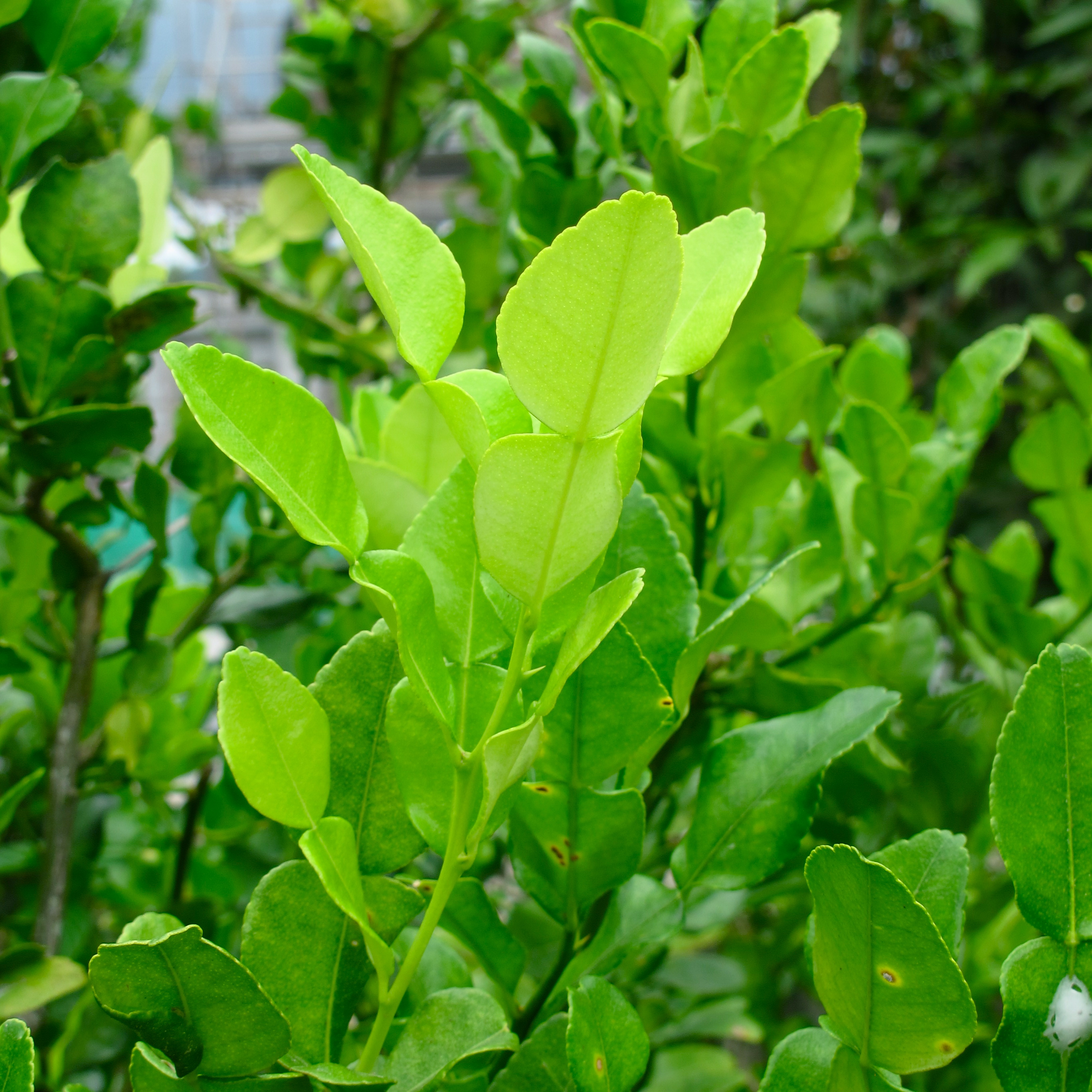kaffir lime leaves - Kaffir Lime Tree