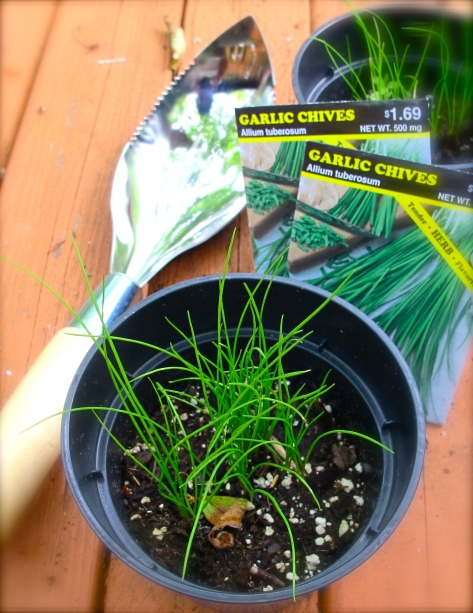 Garlic Chives - Kui Chai-กุยช่าย