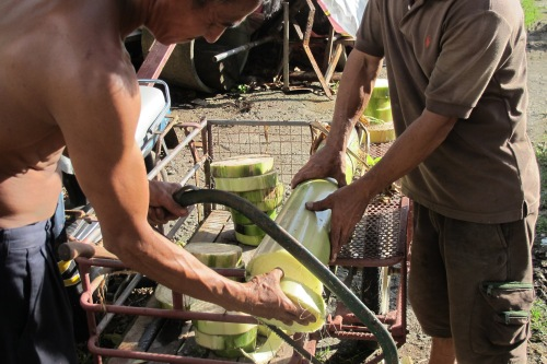 using a saw to cut banana tree trunk into small disk-like bases