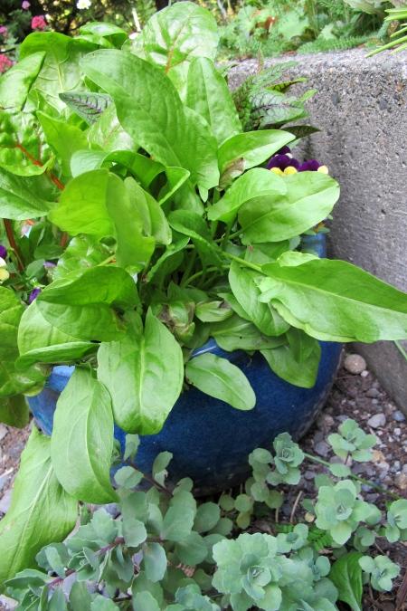 I grow my sorrel in a pot