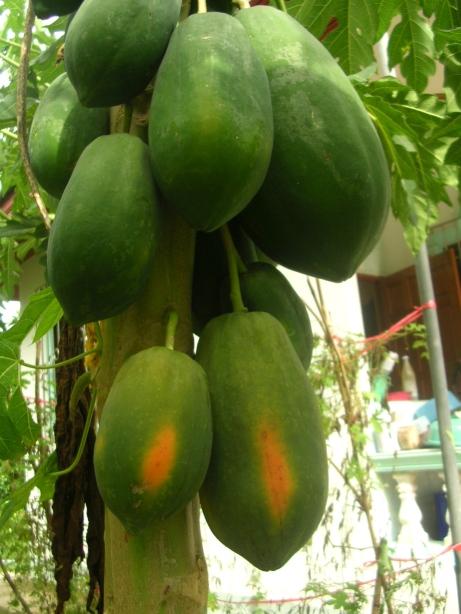 Papaya on a Papaya Tree