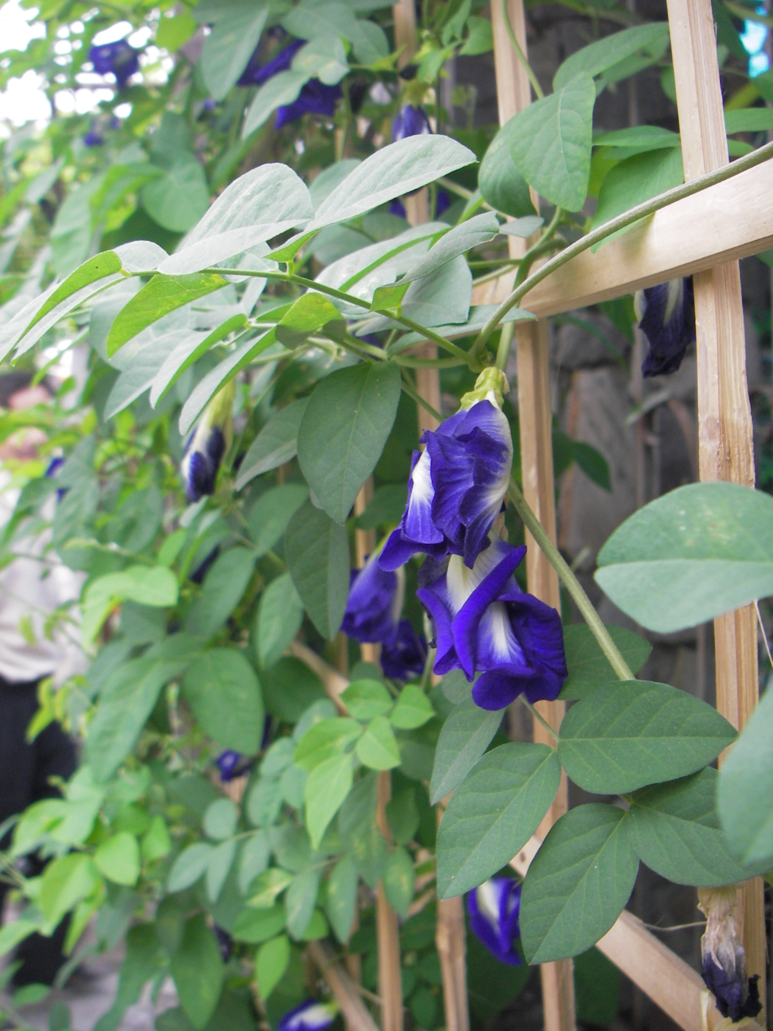 Butterfly Pea Flower Blue And Purple Food Color Extract
