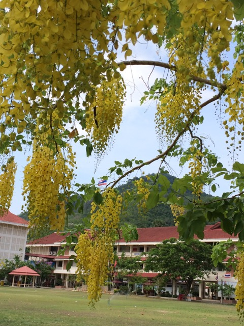 The golden shower tree - Rachapruek - ราชพฤกษ์